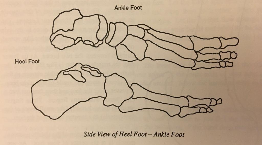 Bones of the heel foot below, bones of the ankle foot above.